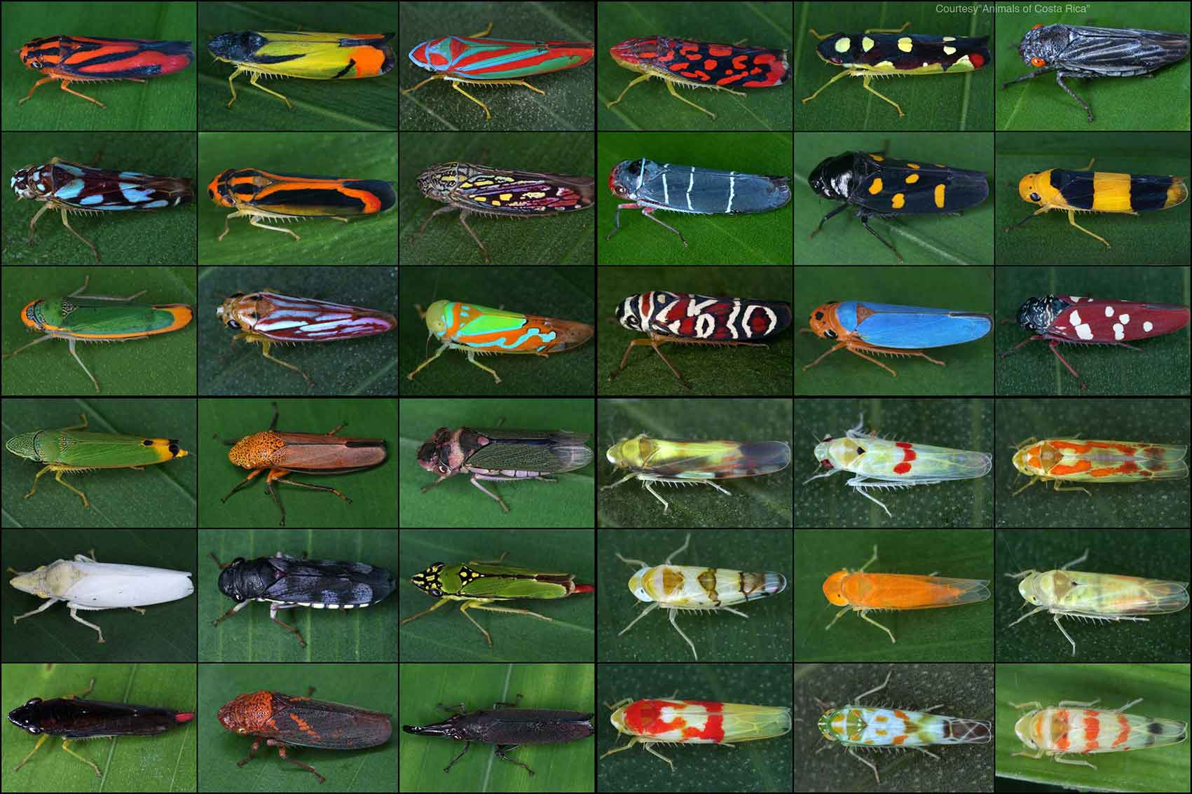 """Leafhoppers and planthoppers are incredibly diverse in insect families. Photo courtesy of the Animals app of Costa Rica. Photo courtesy of """"Animals of Costa Rica App."""""""