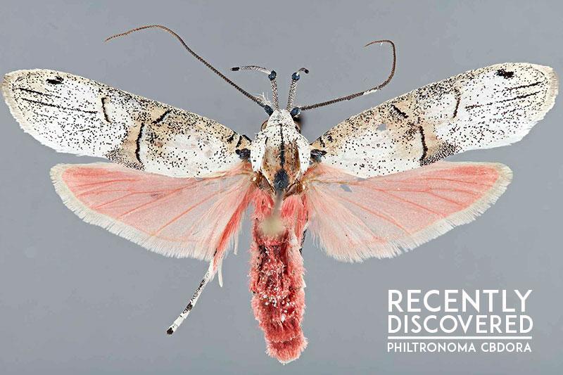 Philtronoma-cbdora-Depressariidae