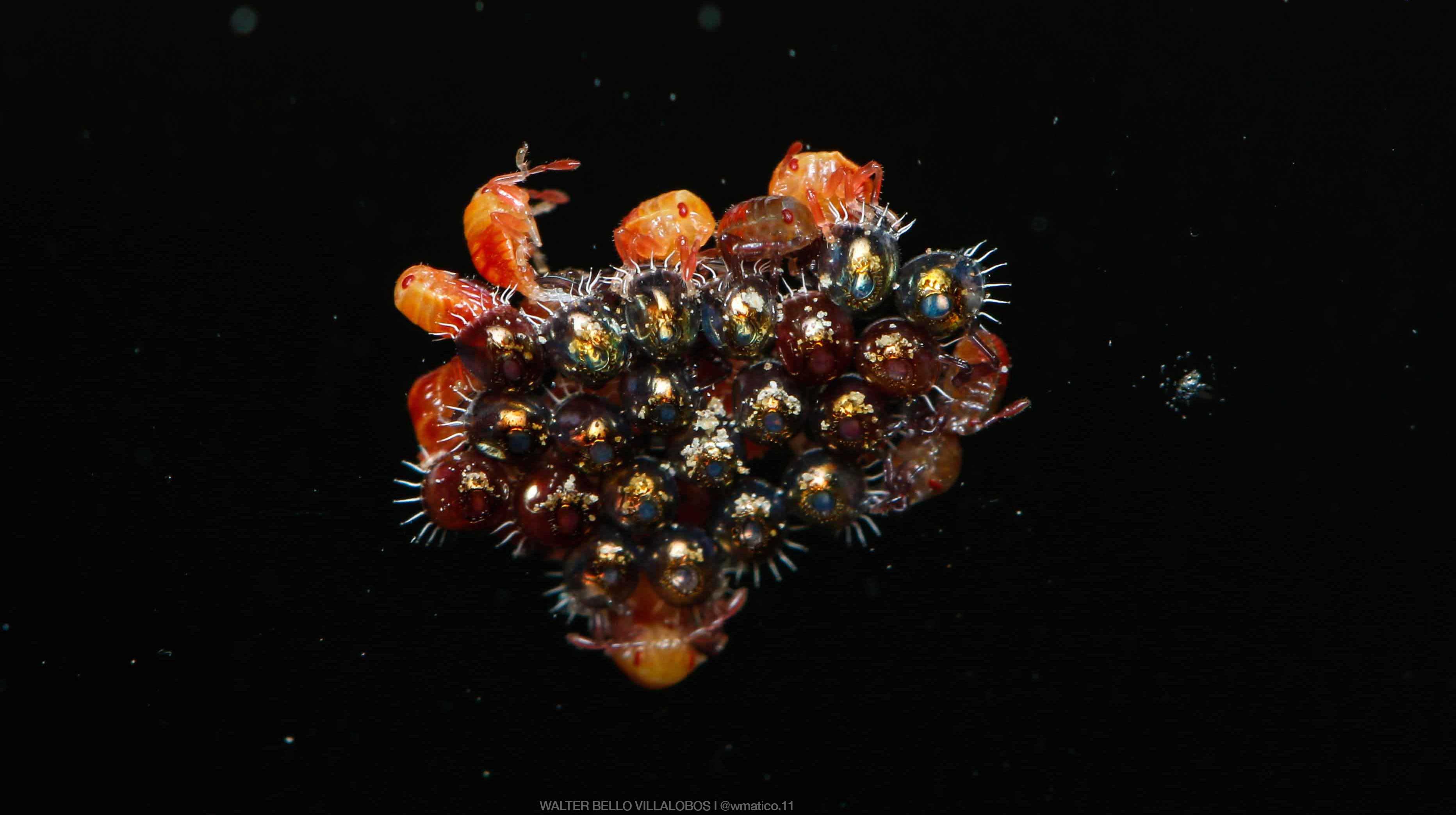 heteroptera-eclosion-eggs