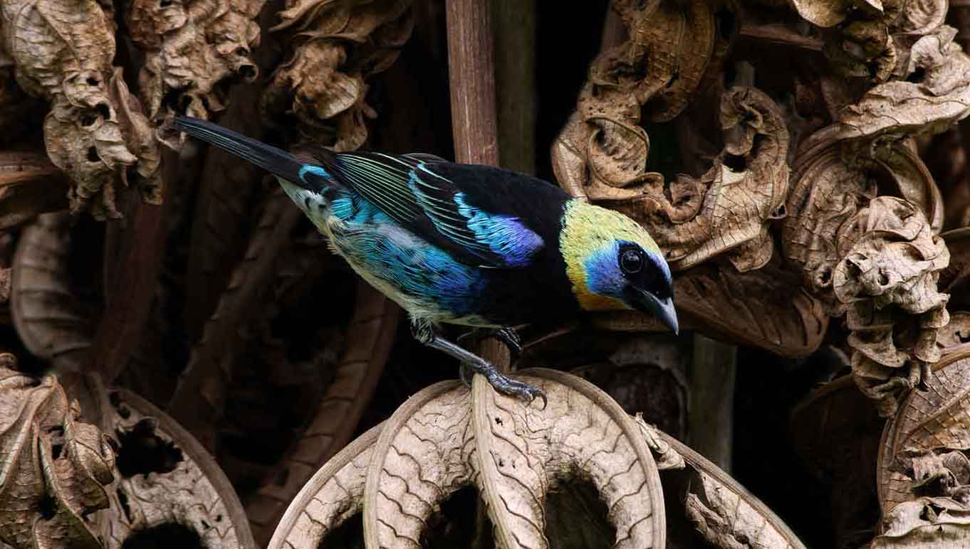 Golden-hooded-tanager- edited
