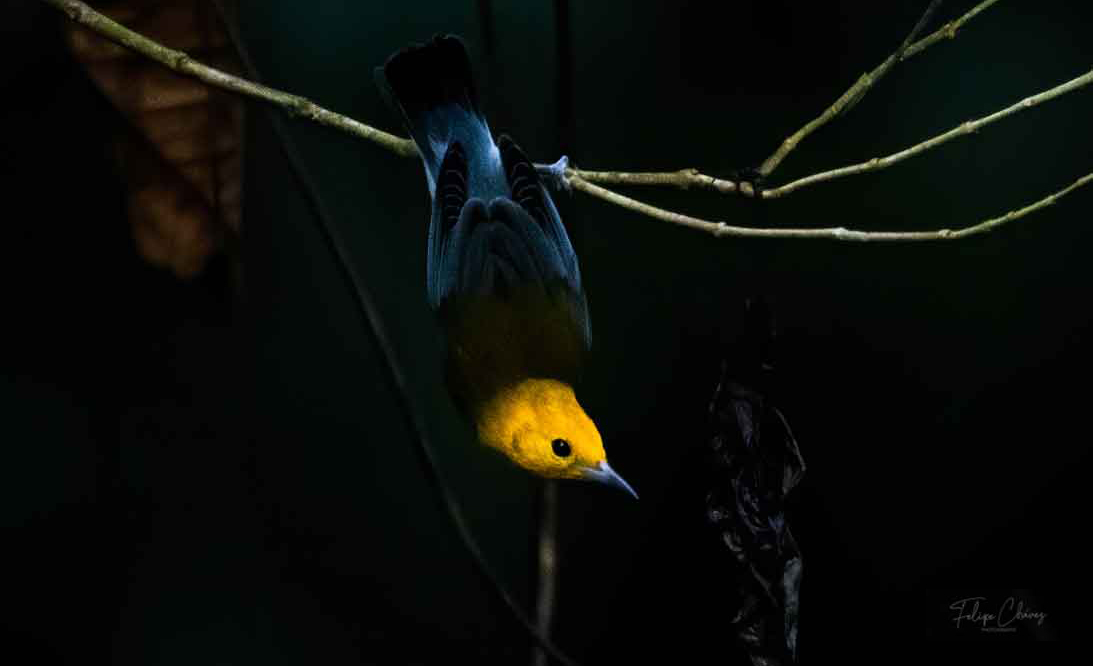 A Prothonotary warbler posed  upside down